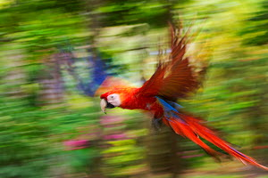 Scarlet macaw (Ara macao) flying, blurred motion. Costa Rica. - Edwin  Giesbers