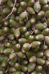 Palm nuts (Arecaceae) common food for macaws, Costa Rica. - Edwin  Giesbers