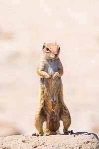Barbary ground squirrel (Atlantoxerus getulus) male, Fuerteventura, Canary Islands. Introduced from North Africa. - Edwin  Giesbers