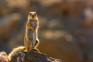Barbary ground squirrel (Atlantoxerus getulus) female, Fuerteventura, Canary Islands. Introduced from North Africa. - Edwin  Giesbers