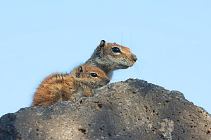 Barbary ground squirrel (Atlantoxerus getulus) female with baby, Fuerteventura, Canary Islands. Introduced from North Africa. - Edwin  Giesbers