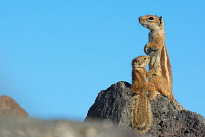 Barbary ground squirrel (Atlantoxerus getulus) female with suckling baby, Fuerteventura, Canary Islands. Introduced from North Africa. - Edwin  Giesbers