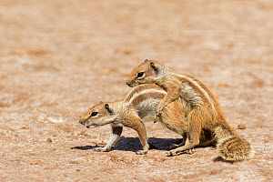 Barbary ground squirrels (Atlantoxerus getulus) mating, Fuerteventura, Canary Islands. Introduced from North Africa. - Edwin  Giesbers