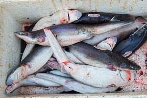 Sharks (Squalus sp) in fish market with fins removed, Bali, Indonesia, August 2014.  -  Inaki  Relanzon