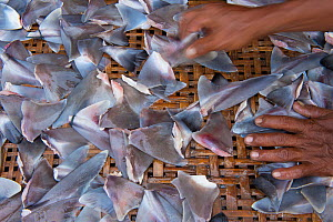 Shark fins (Squalus sp) for sale in fish market, Bali, Indonesia, August 2014.  -  Inaki  Relanzon