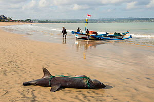 Dead shark on beach with tail and pectoral fins removed, Bali, Indonesia, August 2014.  -  Inaki  Relanzon