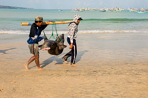 Fishermen on beach carrying large shark with tail removed, Bali, Indonesia, August 2014.  -  Inaki  Relanzon