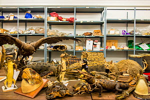 Taxidermy specimens and endangered wildlife products confiscated by the Spanish police at Adolfo Suarez Madrid-Barajas Airport in accordance with CITES, stored in a government warehouse, Spain, Octobe... - Inaki  Relanzon