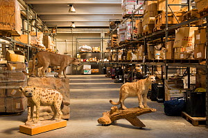 Taxidermy specimens confiscated by the Spanish police at Adolfo Suarez Madrid-Barajas Airport in accordance with CITES, stored in a government warehouse, Spain, October 2014. - Inaki  Relanzon