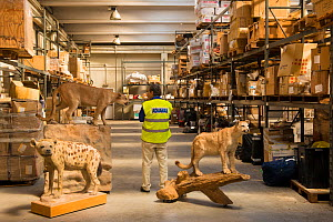 Man with taxidermy specimens confiscated by the Spanish police at Adolfo Suarez Madrid-Barajas Airport in accordance with CITES, stored in a government warehouse, Spain, October 2014. - Inaki  Relanzon