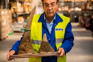 Man with mounted rhino horns confiscated by the Spanish police at Adolfo Suarez Madrid-Barajas Airport in accordance with CITES, stored in a government warehouse, Spain, October 2014. - Inaki  Relanzon