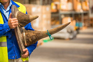 Mounted rhino horns confiscated by the Spanish police at Adolfo Suarez Madrid-Barajas Airport in accordance with CITES, stored in a government warehouse, Spain, October 2014.  -  Inaki  Relanzon
