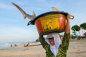 Woman carrying Snaggletooth shark (Hemipristis elongata) in a bucket on her head, Bali, Indonesia, August 2014. Vulnerable species.  -  Inaki  Relanzon