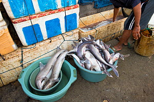 Sharks (Squalus sp) for sale in fish market, Bali, Indonesia, August 2014.  -  Inaki  Relanzon