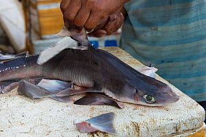 Man removing dorsal fin from Shark (Squalus sp) in fish market, Bali, Indonesia, August 2014.  -  Inaki  Relanzon