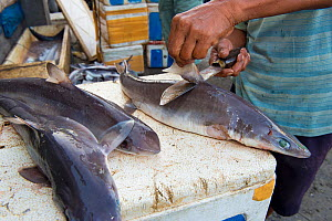 Man removing dorsal fins from Sharks (Squalus sp) in fish market, Bali, Indonesia, August 2014.  -  Inaki  Relanzon