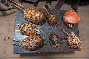Traditional cattle bells made from Leopard tortoise (Stigmochelys pardalis) shell and wooden sticks as well as a wooden camel bell (top right on the table) for sale in a tourist shop in Addis Ababa. T...  -  Constantinos Petrinos