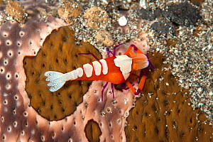 Emperor shrimp (Periclimenes imperator / Zenopontonia rex) with parasitic Isopod (Bopyridae) and living commensally with Leopard Sea Cucumber (Bohadschia argus) Lembeh Strait, North Sulawesi, Indonesi... - Constantinos Petrinos
