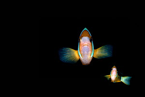 Clark's anemonefish (Amphiprion clarkii) on black background Lembeh Strait, North Sulawesi, Indonesia. Composite image.  -  Constantinos Petrinos