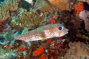 Black-spotted Porcupinefish (Diodon hystrix) poisonous species, Lembeh Strait, North Sulawesi, Indonesia. - Constantinos Petrinos
