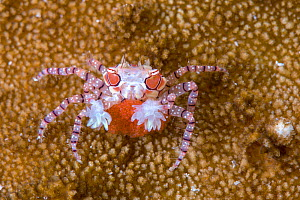 Mosaic boxer crab (Lybia tesselata) female carrying its red eggs Lembeh Strait, North Sulawesi, Indonesia - Constantinos Petrinos