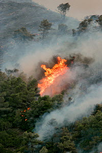 Mediterranean pines (Pinus halepensis) in forest fire, taken from the Patra Korinth Highway, Mount Klokos, Peloponese, Greece. 9th July 2007. This was the largest forest fire in Greece recorded. It de... - Constantinos Petrinos