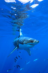 Great white shark (Carcharodon carcharias) Guadalupe Island or Isla Guadalupe, Pacific Ocean, Mexico, September. Vulnerable species.  -  Constantinos Petrinos