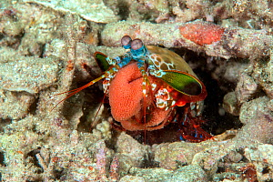 Peacock mantis shrimp (Odontodactylus scyllarus) carrying its egg mass at the entrance of its burrow. Lembeh Strait, North Sulawesi, Indonesia.  -  Constantinos Petrinos