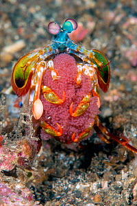 Peacock mantis shrimp (Odontodactylus scyllarus) carrying its egg mass. Notice one eye looking forwards and the other looking backwards. Lembeh Strait, North Sulawesi, Indonesia.  -  Constantinos Petrinos