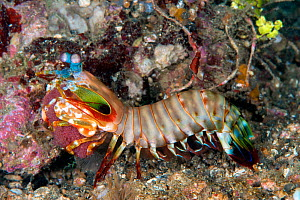 Peacock mantis shrimp (Odontodactylus scyllarus) carrying its egg mass. Lembeh Strait, North Sulawesi, Indonesia.  -  Constantinos Petrinos