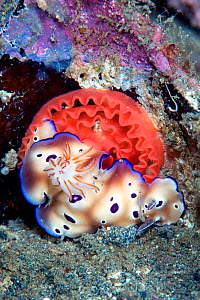 Chromodorid nudibranch (Risbecia tryoni) laying a red egg ribbon, Lembeh Strait, North Sulawesi, Indonesia.  -  Constantinos Petrinos