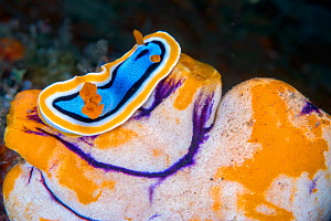 Chromodorid nudibranch (Chromodoris annae) on Sea Squirt (Polycarpa aurata) Lembeh Strait, North Sulawesi, Indonesia. - Constantinos Petrinos