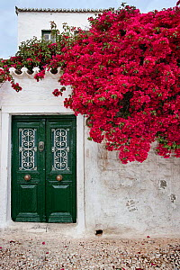 Bougainvillea flowers growing on the wall of a house, Spetses Island, Aegean Sea, Greece. April 2013.  -  Constantinos Petrinos