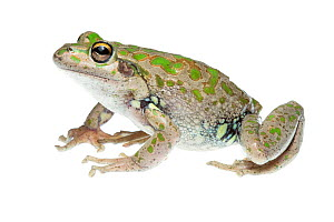 Spotted-thighed frog (Litoria cyclorhyncha), Western Australia. meetyourneighbours.net project - MYN / Lily Kumpe