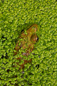 Green frog (Lithobates clamitans) amongst duckweed at surface, Washington DC, USA, August. - John Cancalosi