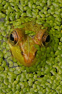 Green frog (Lithobates clamitans) amongst duckweed at surface, Washington DC, USA, September. - John Cancalosi