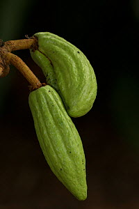 Cacao (Theobroma cacao) young fruits. Used to make chocolate, occurs in tropical regions of Central and South America. - John Cancalosi