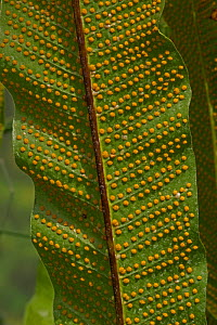 Fern (Selaginella emmeliana) showing sori / spores. Occurs in Central and South America.  -  John Cancalosi