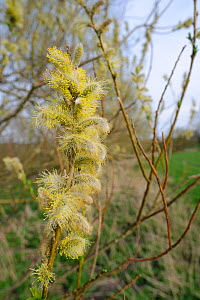 Pussy Willow / Common osier hybrid (Salix caprea x Salix viminalis) catkins, Wiltshire, UK, April.  -  Nick Upton