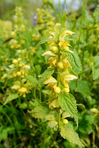 Dense stand of Yellow archangel (Lamium galeobdolum) flowering in a woodland clearing, GWT Lower Woods reserve, Gloucestershire, UK, May.  -  Nick Upton