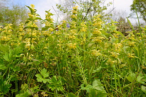 Low angle view of a dense stand of Yellow archangel (Lamium galeobdolum) flowering in a woodland clearing, GWT Lower Woods reserve, Gloucestershire, UK, May.  -  Nick Upton