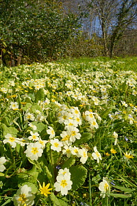 Carpet of Common primroses (Primula vulgaris) and Lesser celandines (Ranunculus ficaria) flowering on a woodland edge, Cornwall, UK, April.  -  Nick Upton