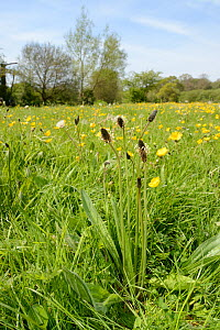 Ribwort plantain (Plantago lanceolata) flowering in a hay meadow alongside Meadow buttercups (Ranunculus acris) and Dandelions (Taraxacum officinale), Wiltshire, UK, May.  -  Nick Upton