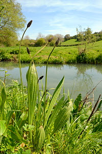 Ribwort plantain (Plantago lanceolata) flowering at the edge of a hay meadow on a river bank, Wiltshire, UK, May. - Nick Upton
