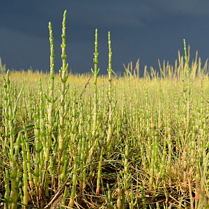 Common glasswort / Marsh samphire (Salicornia europeae) growing on a saltmarsh, RSPB Arne, Dorset, July.  -  Nick Upton