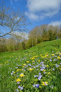Carpet of Germander speedwell (Veronica chamaedrys) and Lesser celandines (Ranunculus ficaria) flowering on a hillside meadow, Bathwick, Bath and Northeast Somerset, UK, April.  -  Nick Upton