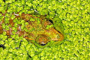 Green frog (Lithobates clamitans) amongst duckweed, Washington DC, USA, August. - John Cancalosi