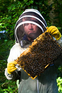 Beekeeper from Gwent beekeepers looking at bees on hive frame, on grounds of Llantarnam Abbey, Cwmbran, Gwent, Wales, UK. September 2014.  -  David  Woodfall