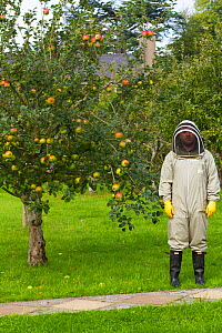 Member of Gwent beekeepers in protective suit in orchard of Llantarnam Abbey, Cwmbran, Gwent, Wales, UK. September 2014. - David  Woodfall