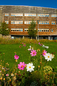 White and pink cosmos flowers planted to help bee conservation outside Wales Environment Centre, Bangor University, Bangor Gwynedd North Wales, UK. September 2014. - David  Woodfall